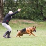 Deutscher Schäferhund ©ABLICHTEREI e.U. - Claudia Spieß