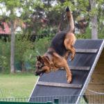 Deutscher Schäferhund Training ©ABLICHTEREI e.U. - Claudia Spieß