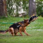 Deutscher Schäferhund Schutztraining ©ABLICHTEREI e.U. - Claudia Spieß