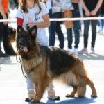 IHA Tulln 2019 Deutsche Schäferhunde @ ABLICHTEREI e.U. - Claudia Spieß
